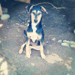 Hakuren, chien