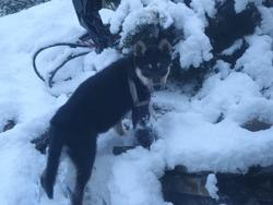 Halaska, chien Husky sibérien
