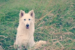 Halaska, chien Berger blanc suisse