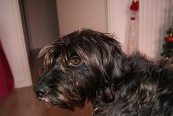 Halaska, chien