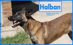 Halban, chien Berger belge