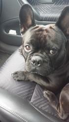 Halco, chien Bouledogue français