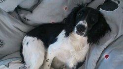 Haldo, chien Springer anglais