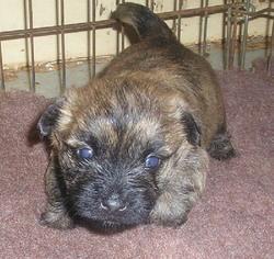 Halessia, chien Cairn Terrier