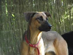 Haley, chien Berger belge