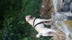 Half, chien Shar Pei