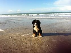 Half, chien Bouvier bernois