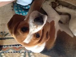 Halfa, chien Beagle