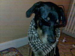 Halfa, chien Beauceron
