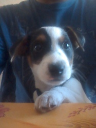 Halfy, chien Jack Russell Terrier