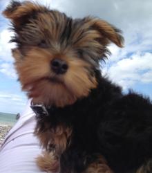Halfy, chien Yorkshire Terrier