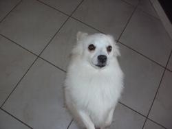 Halia, chien Spitz allemand