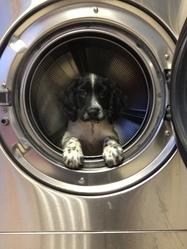 Halia, chien Springer anglais