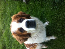Halia, chien Saint-Bernard