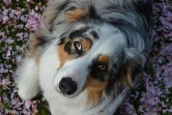 Halika, chien Berger australien
