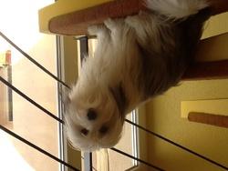 Halika, chien Coton de Tuléar