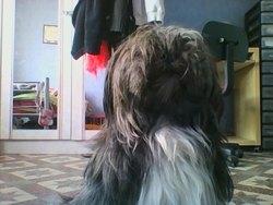 Halinka, chien Lhassa Apso