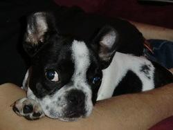 Halix, chien Bouledogue français