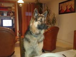 Halko, chien