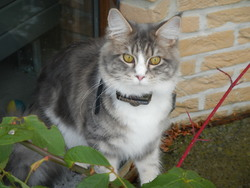 Hally, chat Maine Coon