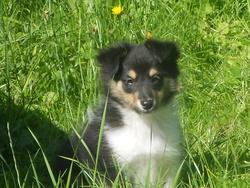 Hally, chien Berger des Shetland