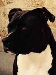 Halma, chien American Staffordshire Terrier