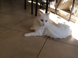 Haloa, chat Maine Coon