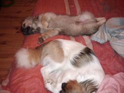 Halpha, chien Épagneul tibétain