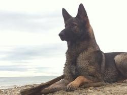 Haltéa, chien Berger allemand