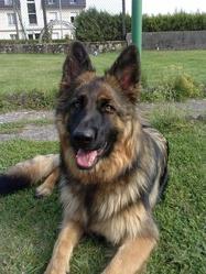 Haltesse, chien Berger allemand