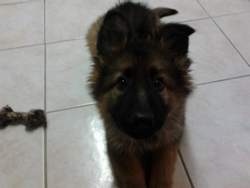 Haltesse Du Sol Invictus, chien Berger allemand
