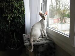 Halva Des Masques D'Oriennt, chat Siamois