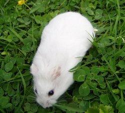 Hamada, rongeur Hamster