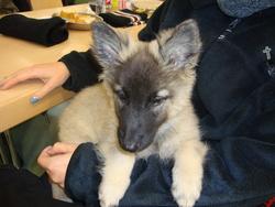 Hambel, chien Berger belge