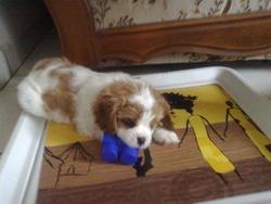 Hambre, chien Cavalier King Charles Spaniel