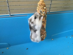 Hamidoux, rongeur Hamster