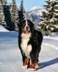 Hamilton, chien Bouvier bernois