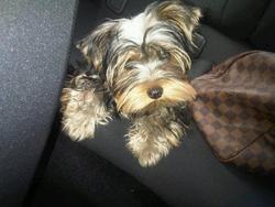 Hamilton, chien Yorkshire Terrier