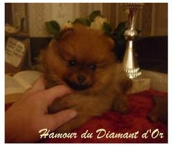 Hamour Du Diamant D'Or, chien Spitz allemand