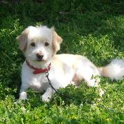 Hamsi, chien Bichon à poil frisé