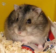 Hamstaro, rongeur Hamster