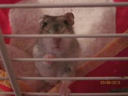 Hamster, rongeur Hamster