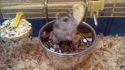 Hamster, rongeur