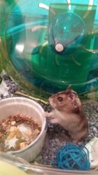 Hamsterdame, rongeur Hamster