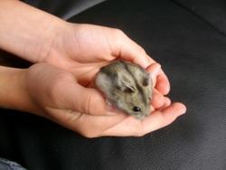 Hamsterfield, rongeur Hamster