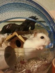 Hamsterix, rongeur Hamster
