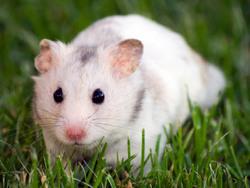 Hamstero, rongeur Hamster
