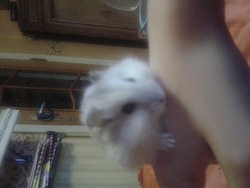 Hamstou, rongeur Hamster