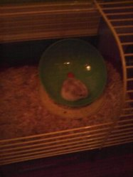 Nutella, rongeur Hamster