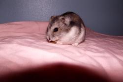 Hamtaro, rongeur Hamster